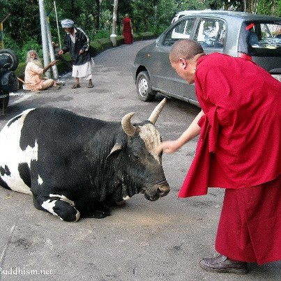 File:Monk and cow.jpg