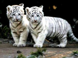 Tiger-Cubs-white-tiger-28321362-360-271.jpg