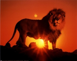 Lion-over-the-sunset-lions-334.jpg
