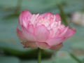 Indian Lotus (Nelumbo nucifera).jpg