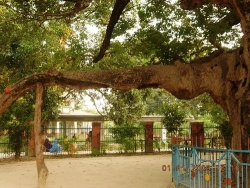 Parijat-tree-at-Kintoor-Barabanki-003.jpg